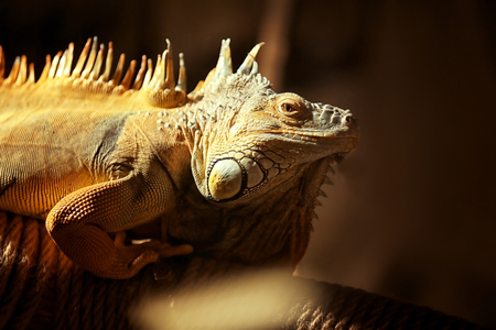 Close up view of iguana in zoological garden