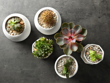 Succulents on grey background