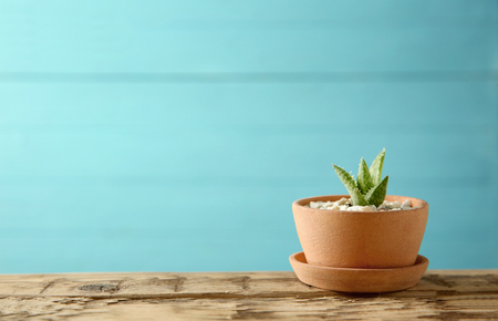 Pot with succulent on blue background