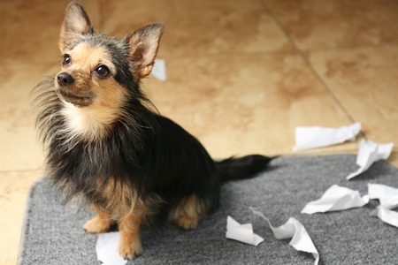 Cute little dog with pieces of paper on rug on the floor