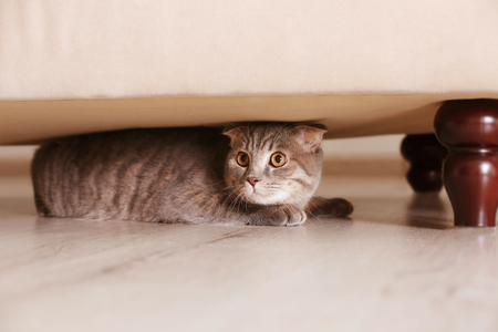 Cute funny cat hiding under furniture at home Stock Photo