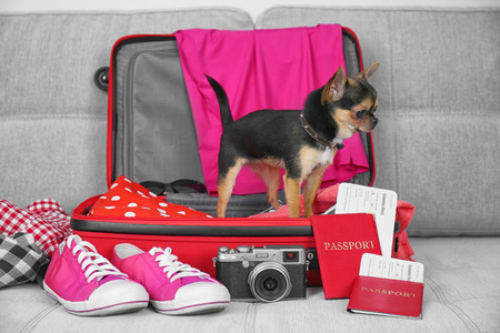 Small dog in suitcase waiting for trip, on gray sofa