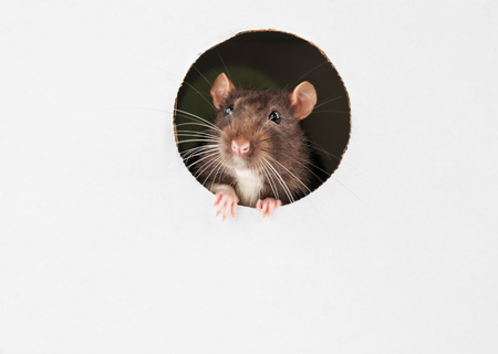 Cute funny rat looking out of hole in white cardboard Stockfoto - 109418984