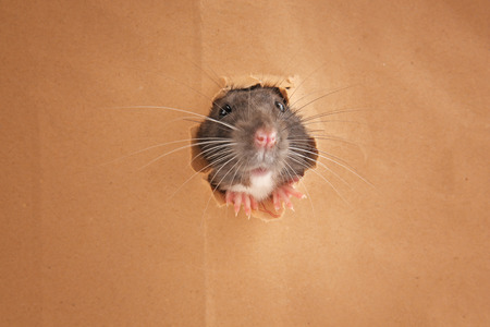 Cute funny rat looking out of hole in paper
