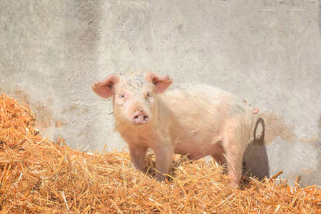 Cute pink pig on farm in sunny day