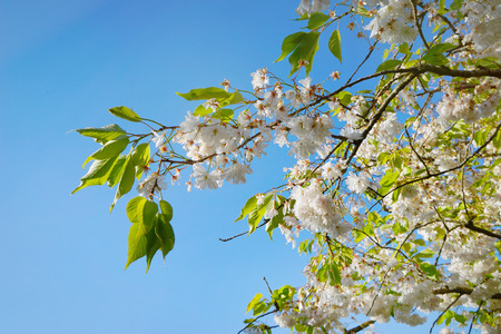 Branches of blossoming fruit tree on sunny day