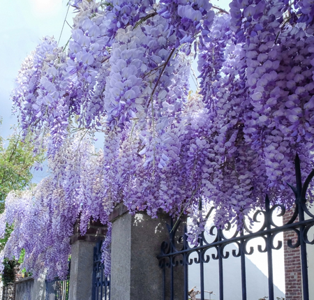 Blooming wisteria branches on street