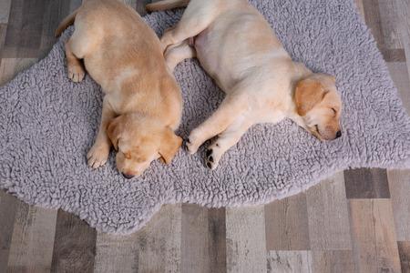 Cute labrador retriever puppy sleeping on rug at home