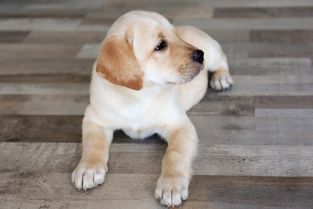 Cute labrador retriever puppy lying on floor at home