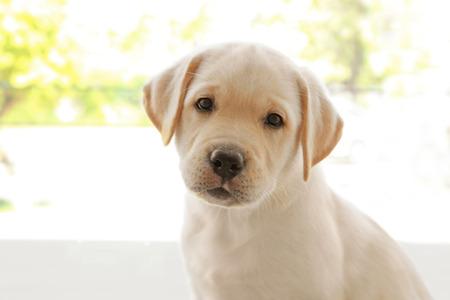 Cute labrador retriever puppy near window at home