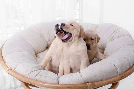 Cute labrador retriever puppies on lounge at home Standard-Bild