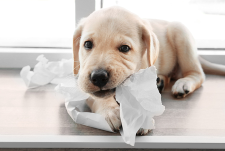 Cute labrador retriever puppy tearing paper while lying on window sill at home Imagens