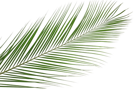 Beautiful tropical palm leaf on white background
