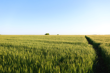 Beautiful wheat field with blue sky on background