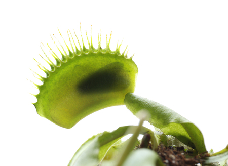 Insect inside of dionaea muscipula trap on white background