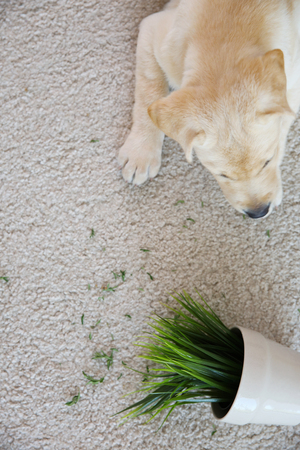 Cute puppy chewed houseplant on carpet Stock Photo