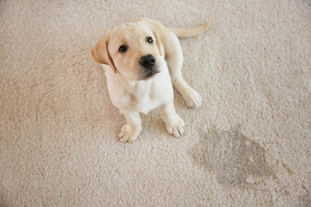 Cute puppy sitting on carpet near wet spot Reklamní fotografie - 110403211