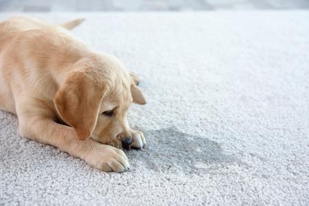 Schattige puppy liggend op tapijt in de buurt van natte plek