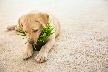Cute puppy chewing houseplant on carpet