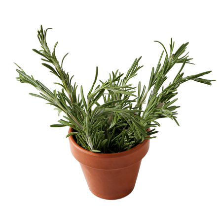 Rosemary plant in pot on white background