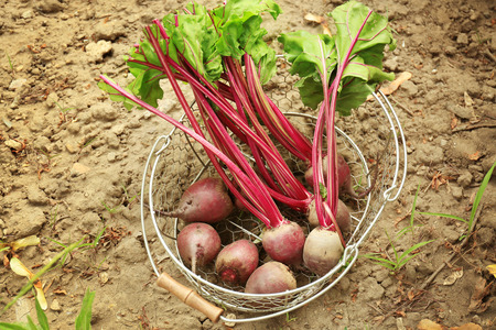 Metal basket with young beets on  ground