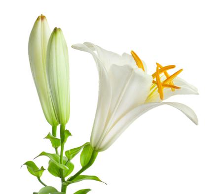 Beautiful white lily, isolated on white background 版權商用圖片