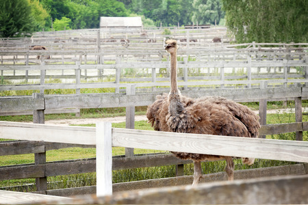 Big ostrich in enclosure on farm