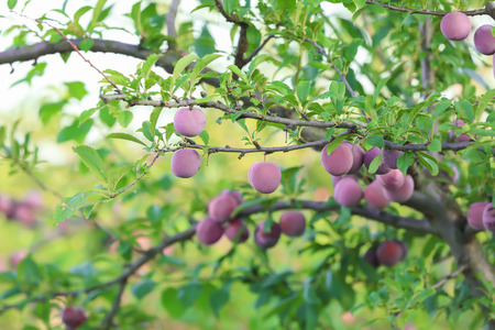 Ripe plums on tree in garden