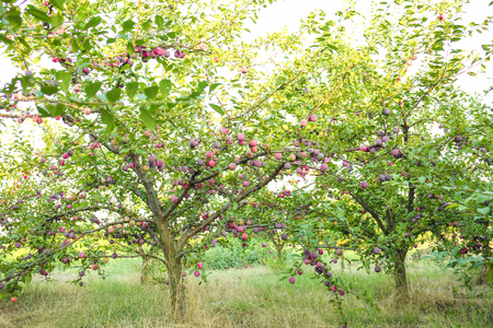 Plum tree in garden