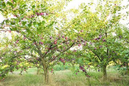 Pruimenboom in de tuin