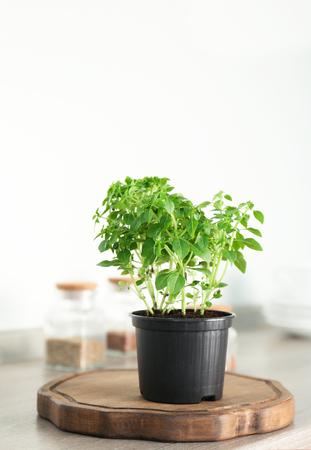 Green oregano plant in pot on table