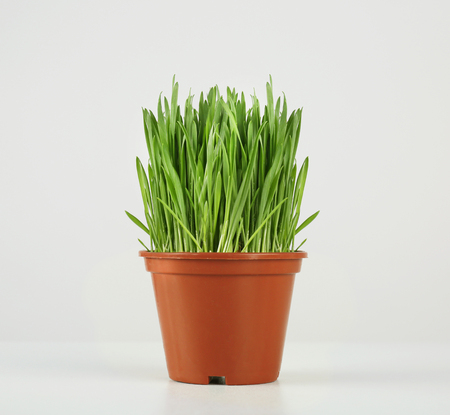 Pot with wheat grass on white background