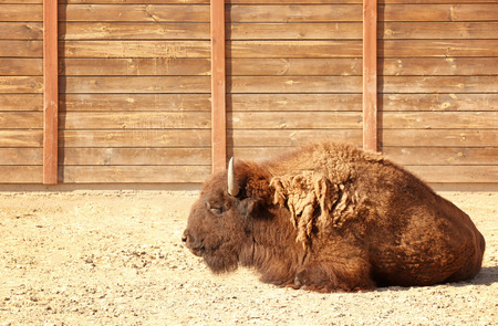 Big bison in zoological garden