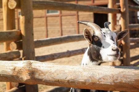 Cute goat on farm