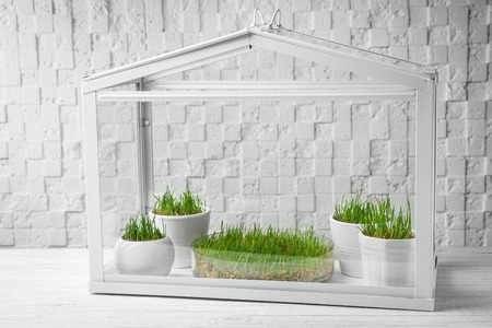 Greenhouse with wheat grass on table