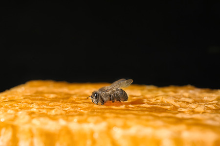 Bee on honeycomb against black background