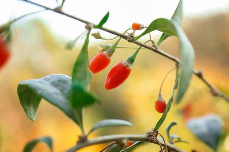 Ripe goji berries on bush, closeup
