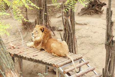 Lion in zoological garden
