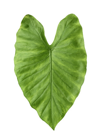 Green leaf of tropical alocasia odora isolated on white