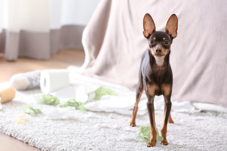 Mischievous toy terrier and torn paper indoors