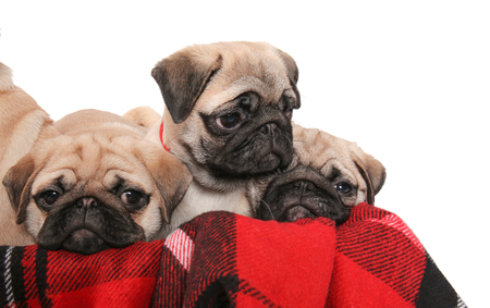Cute pug puppies in box with soft plaid on white background