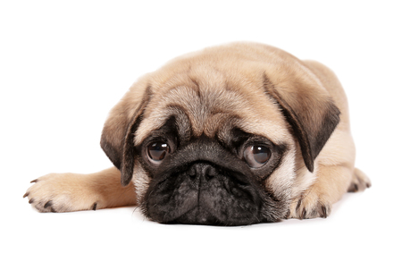 Cute pug puppy on white background Banque d'images