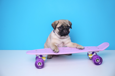 Cute pug puppy with skateboard on color background Фото со стока
