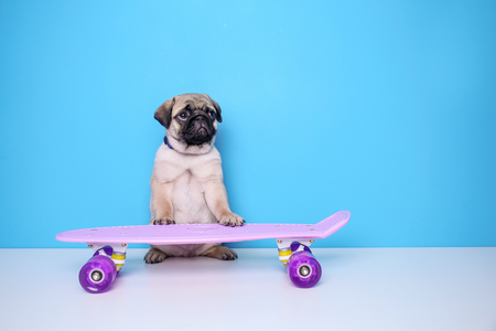 Cute pug puppy with skateboard on color background Stock Photo