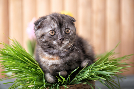 Cute kitten in wicker pot with green grass at home