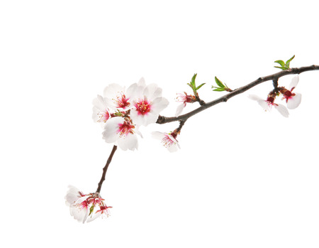Beautiful blossoming branch on white background
