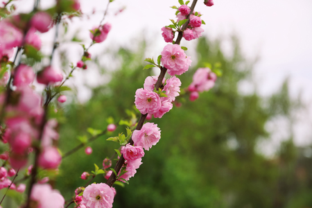 Beautiful blossoming branches outdoors Stock Photo