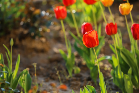 Beautiful blooming tulips outdoors