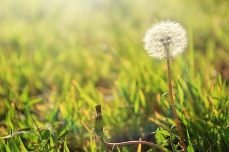 Beautiful dandelion outdoors Stockfoto