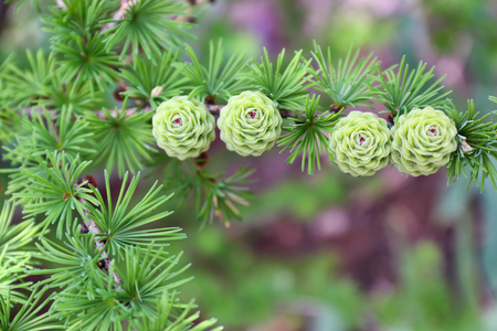Beautiful larch tree with green cones outdoors Foto de archivo